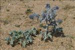 Photo 5/14 Eryngium maritimum L.