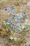 Photo 14/14 Eryngium maritimum L.