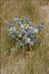 Photo 11/14 Eryngium maritimum L.