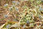 Photo 1/8 Eryngium viviparum J.Gay