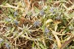 Photo 5/8 Eryngium viviparum J.Gay