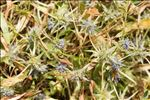 Photo 3/8 Eryngium viviparum J.Gay