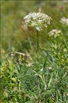 Pachypleurum mutellinoides (Crantz) Holub