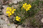 Erysimum rhaeticum (Schleich. ex Hornem.) DC.