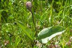 Photo 1/1 Erythronium dens-canis L.