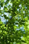 Photo 1/1 Carpinus betulus L.