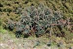 Photo 3/8 Euphorbia characias L.