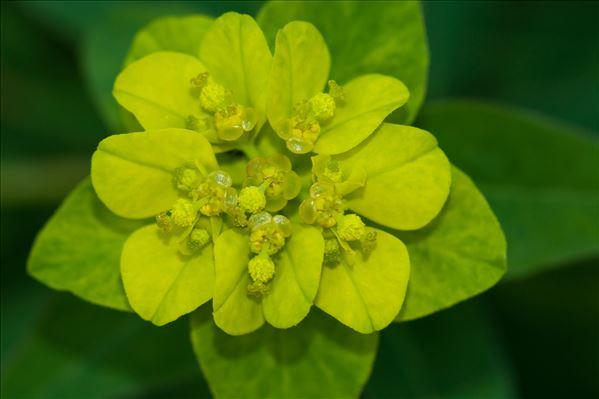 Euphorbia flavicoma subsp. verrucosa (Fiori) Pignatti