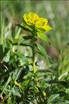 Euphorbia hyberna L.