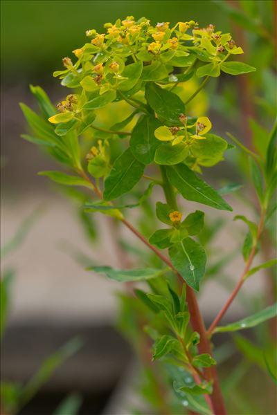 Euphorbia palustris L.