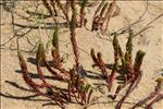 Photo 11/11 Euphorbia paralias L.
