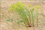 Photo 6/11 Euphorbia paralias L.