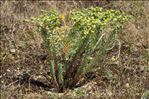 Photo 1/11 Euphorbia paralias L.