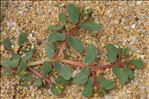 Euphorbia peplis L.