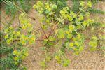 Photo 4/5 Euphorbia segetalis subsp. portlandica (L.) Litard.