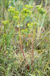 Euphorbia segetalis subsp. portlandica (L.) Litard.