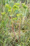 Photo 3/5 Euphorbia segetalis subsp. portlandica (L.) Litard.
