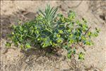 Photo 5/5 Euphorbia segetalis subsp. portlandica (L.) Litard.