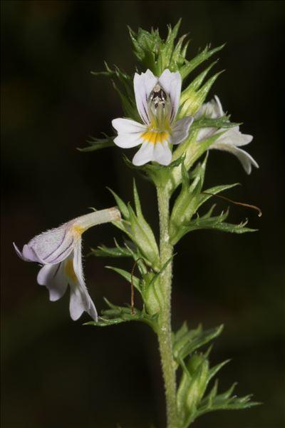 Euphrasia nemorosa (Pers.) Wallr.