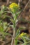 Fibigia clypeata (L.) Medik.
