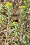 Photo 2/2 Fibigia clypeata (L.) Medik.