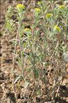 Photo 1/2 Fibigia clypeata (L.) Medik.