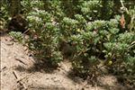 Frankenia pulverulenta L.