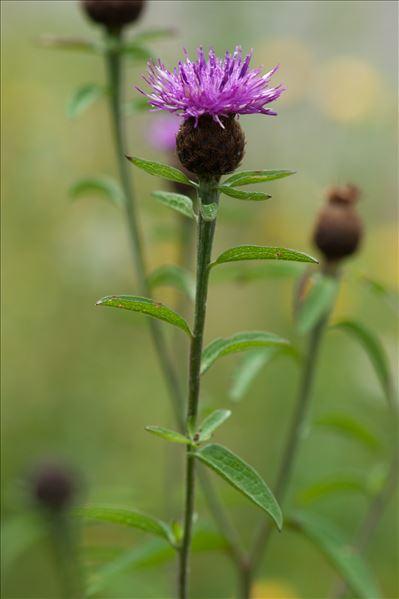 Centaurea nigra L.