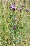 Photo 4/4 Centaurea scabiosa L.