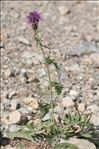 Photo 3/4 Centaurea scabiosa L.