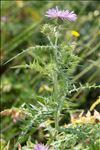 Photo 7/11 Galactites tomentosus Moench
