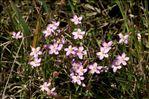 Centaurium erythraea subsp. rumelicum (Velen.) Melderis