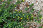 Galium arenarium Loisel.