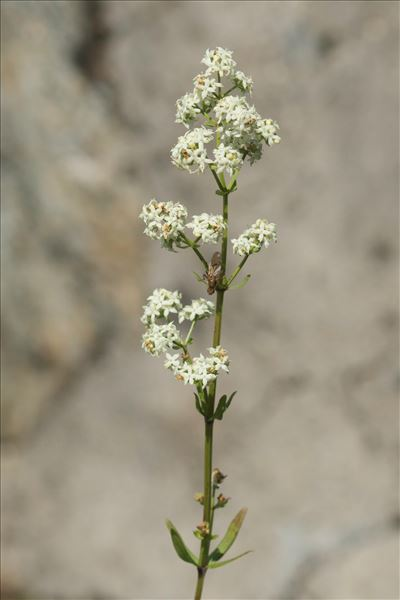 Galium boreale L.