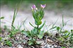 Centaurium pulchellum (Sw.) Druce