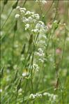 Photo 4/4 Galium glaucum L.