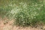 Photo 3/4 Galium glaucum L.