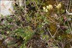 Galium glaucum L.