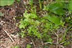 Galium rotundifolium L.