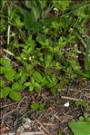 Photo 1/1 Galium rotundifolium L.