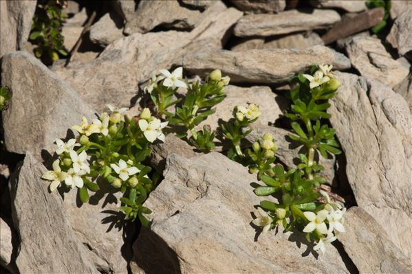 Galium tendae Rchb.f.