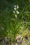 Photo 4/5 Cephalanthera longifolia (L.) Fritsch