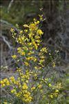 Genista cinerea (Vill.) DC. subsp. cinerea