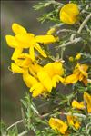 Photo 2/2 Genista scorpius (L.) DC.