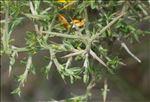Photo 1/2 Genista scorpius (L.) DC.