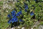 Photo 1/1 Gentiana alpina Vill.