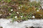 Photo 4/4 Cerastium arvense L. subsp. arvense