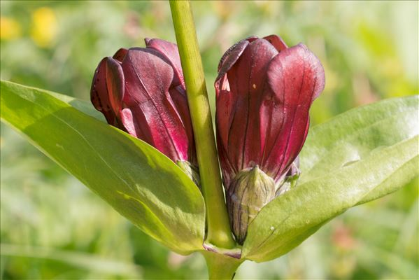 Gentiana purpurea L.
