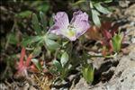 Photo 1/2 Geranium argenteum L.