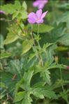 Geranium endressii J.Gay